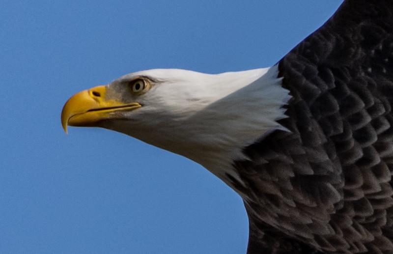 Close-Up of Bald Eagle 1/25/19
