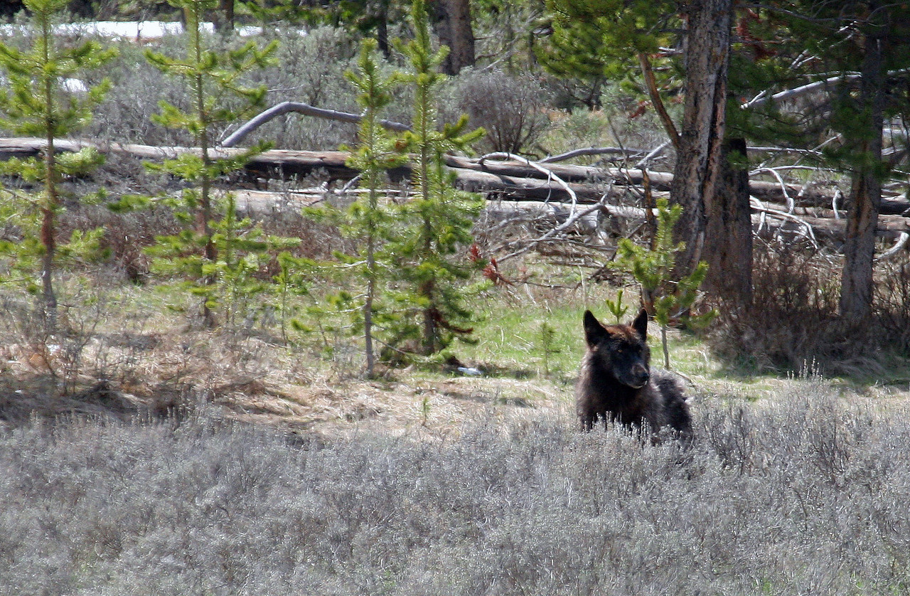 Black Wolf - Yellowstone National Park