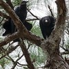 Black Vultures (Fledgling on right)