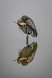 Great Blue Heron Ballet