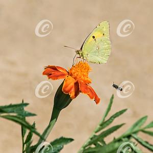 Butterfly on Marigold Flower