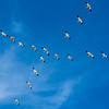 Snow Geese Flying X