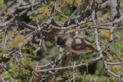 Bulbul, common (spp. layardi)
