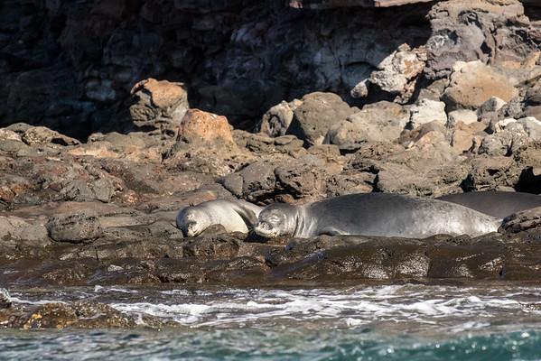 Monk seal pair
