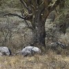 Let sleeping rhinos lie - White rhinoceros (Ceratotherium simum) under tree at Lake Nakuru National Park, Kenya