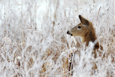 White Tailed Deer in Hoarfrost