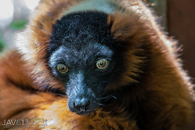 True Lemur