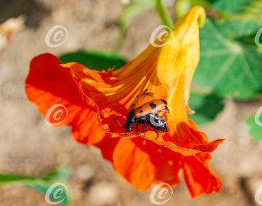 Red and Black Beetle on Nasturtium Flower