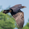 Juvenile Bald Eagle in Flight 6/22/16