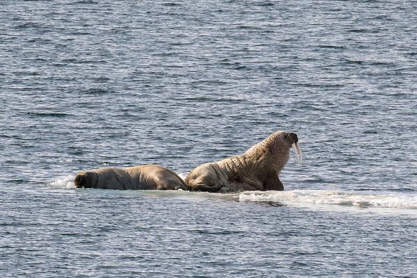 Walrus couple