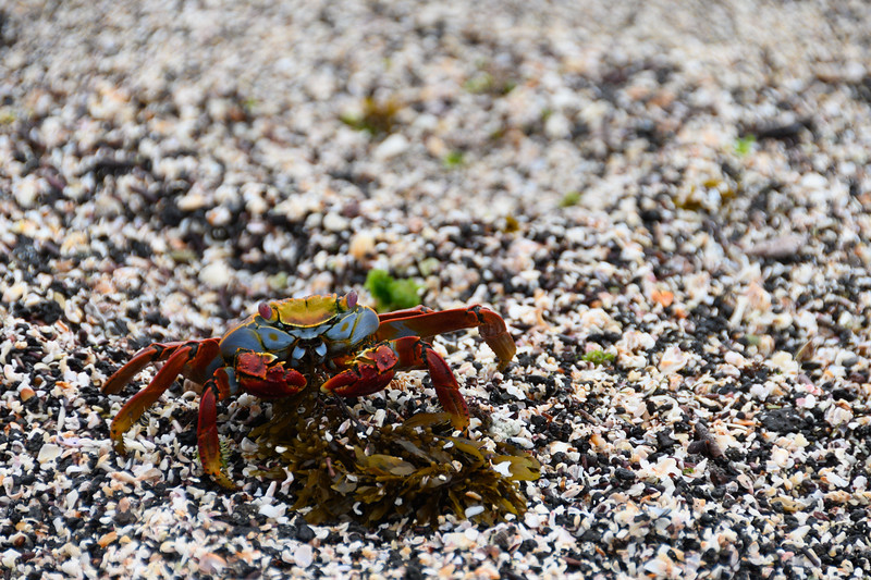 A Sally Lightfoot Crab eating some seaweed
