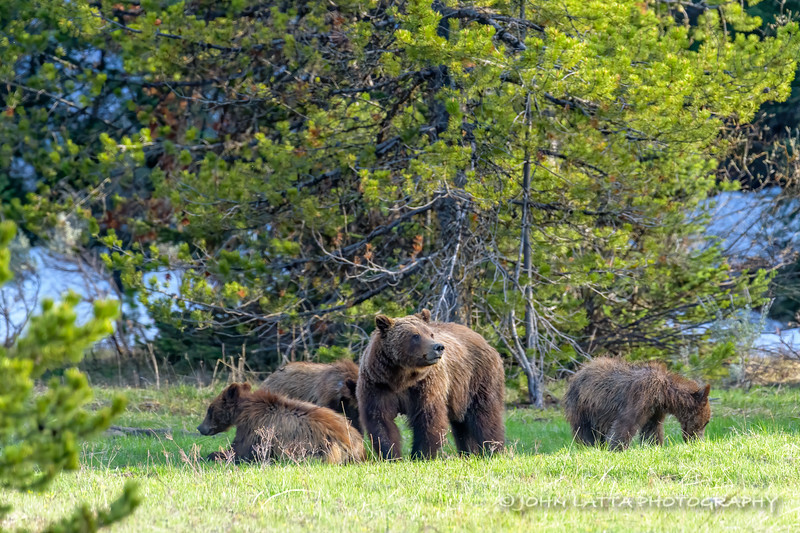 Grizzly Sow and Three Cubs
