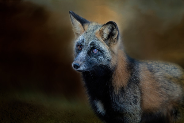 Young Cross Fox