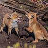Red Fox Kits 5/7/20