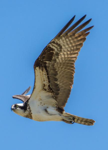 Osprey in Flight 4/20/16