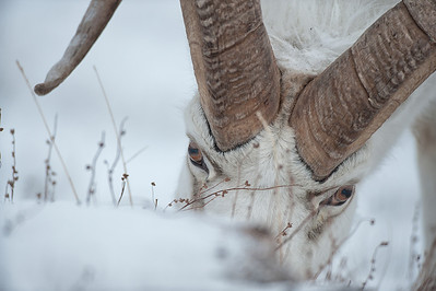 Dall sheep ram with beautiful black eye rings. Sheep Mountain in Kluane National Park. Yukon Winter scene.