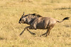 Wildebeest action