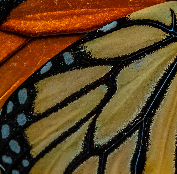 Monarch Butterfly Wing 8/6/19
