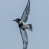 Belted Kingfisher 5/26/17