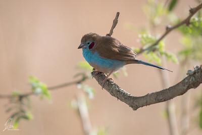 Cordon-bleu, Red-cheeked