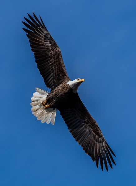 A Bald Eagle in Flight 2/18/19
