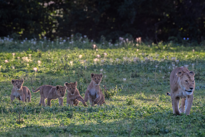Lion cubs and mother in the early morning light in Ngorongoro Crater, Tanzania, East Africa