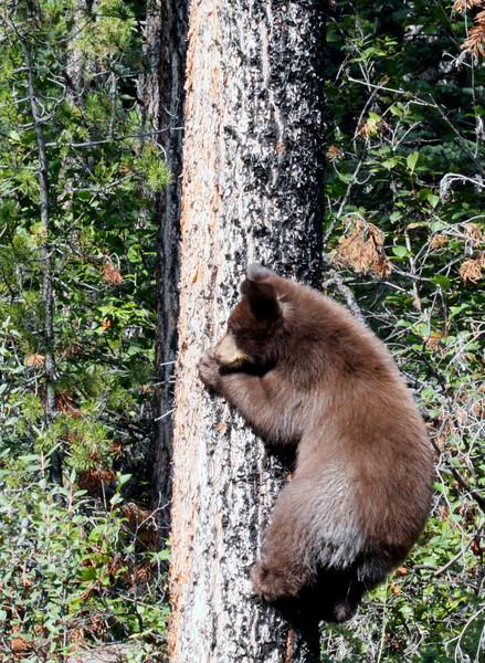 Black Bear Cub - Banff