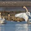 Tundra Swans & Pintail Ducks