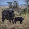 Cape Buffalo and days-old calf, Masai Mara, Kenya, East Africa