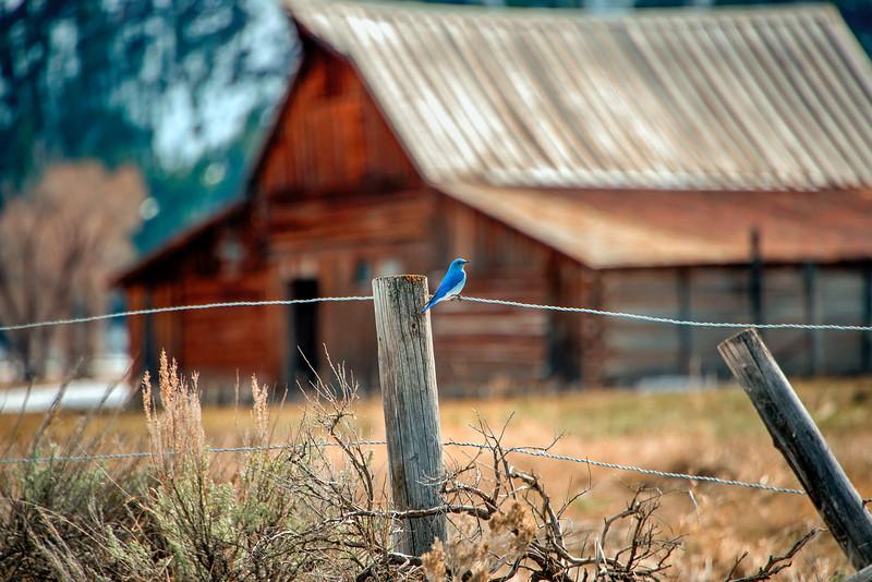 Bluebird at Moulton Barn
