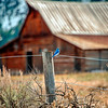 Bluebird at Moulton Barn