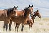 Wild Horses, Utah