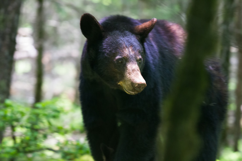 Black Bear, Great Smoky Mountains National Park, Tennessee