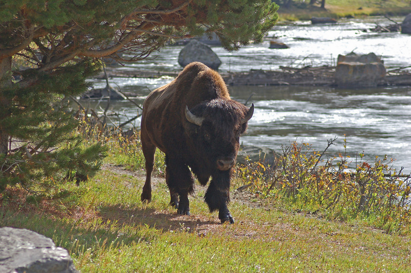 67 - Bison, Yellowstone