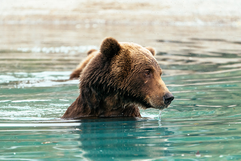 Brown bears in Lake Clark National Park, Alaska.