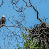 Bald Eagle and Nest 5/21/17