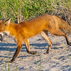 A Mama Red Fox With Dinner 5/18/21