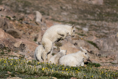 Mountain Goats Playing