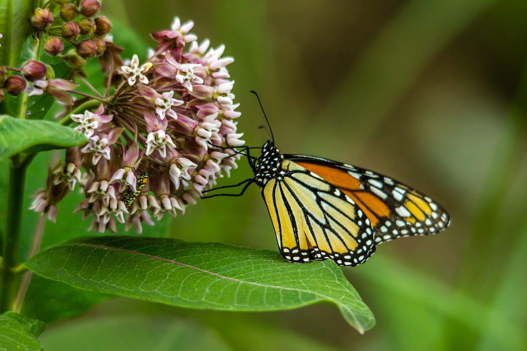 Monarch and Friend