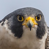 Peregrine Falcon Close-Up 12/21/16