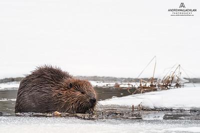 Beaver (Castor canadensis) in WInter Wetland, Algonquin Provincial Park, Ontario, Canada