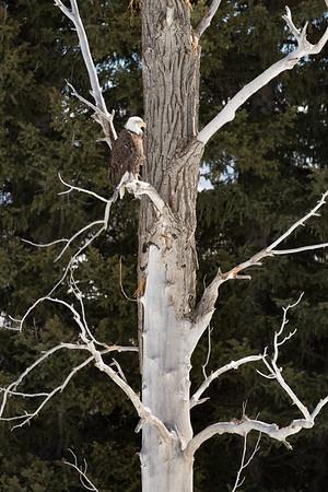 Bald Eagle | Grand Teton National Park | Wyoming