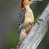Red-Bellied Woodpecker 7/18/18