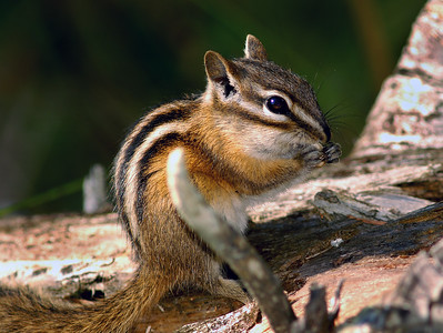 Chipmunk in Michigan's Upper Peninsula