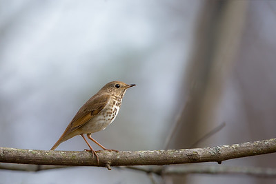 Perched Hermit Thrush