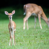 A Fawn and Adult Deer 7/29/16