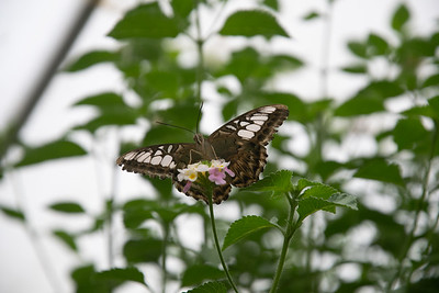 Tropical Butterfly_6