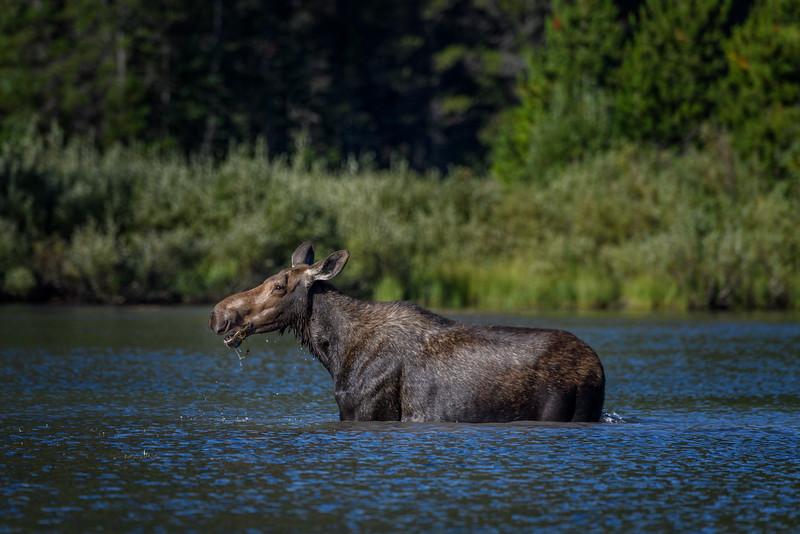 Female Moose at Fishercap Lake, Many Glacier, Glacier National Park, Montana