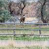 Mule Deer Leaping Fence