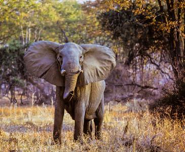 Elephant threat posture